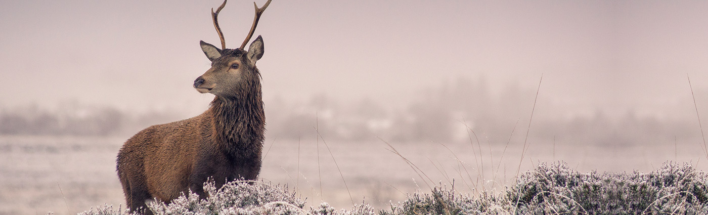 Acharacle Stag